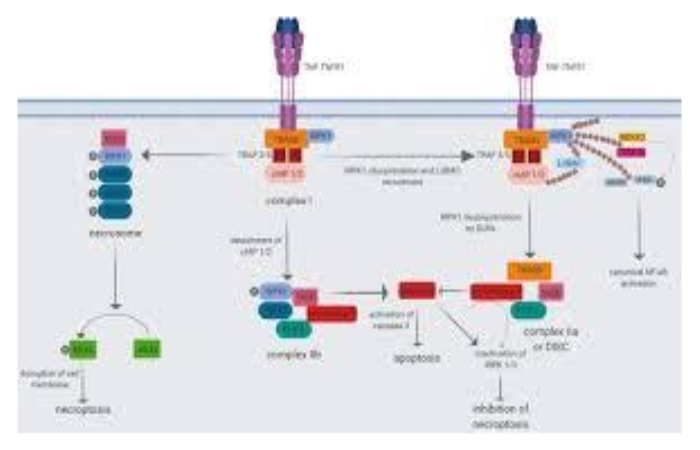 Role of TNF in cancer progression